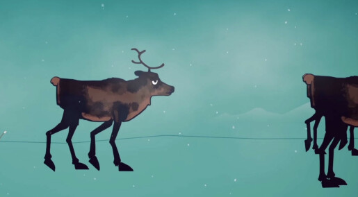 Nett-TV: Se hva som skjer når reinsdyr får skrantesjuke