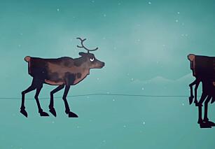 Se hva som skjer når reinsdyr får skrantesjuke