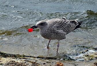 Hvorfor spiser sjøfuglene plast?
