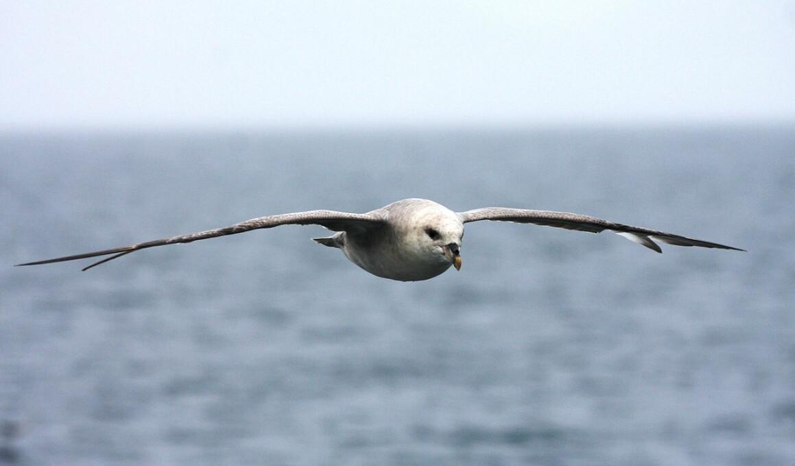 En havhest på vingene. Kanskje den leter etter mat? (Foto: Erlend Bjørtvedt. Bildelisens: CC-BY-SA 3.0 LENKE: https://creativecommons.org/licenses/by-sa/3.0/deed.en)