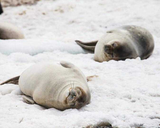 Runde og gode seler i Antarktis. (Foto: Colourbox)