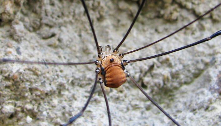 Slik ser Vevkjerringa ut. Den blir ofte forvekslet med stankelbein, som egentlig er en mygg. (Foto: Pavel Bezděčka)