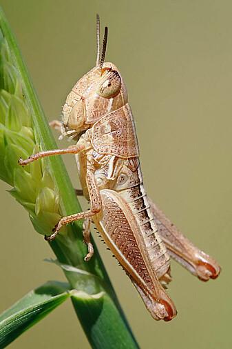 Bladspisende insekter, slik som denne gresshoppen, trives bedre med varmere vinter, og det er trolig grunnen til at vi ser en økning i beite over de siste 112 år. (Foto: fir0002, GFDL 1.2)