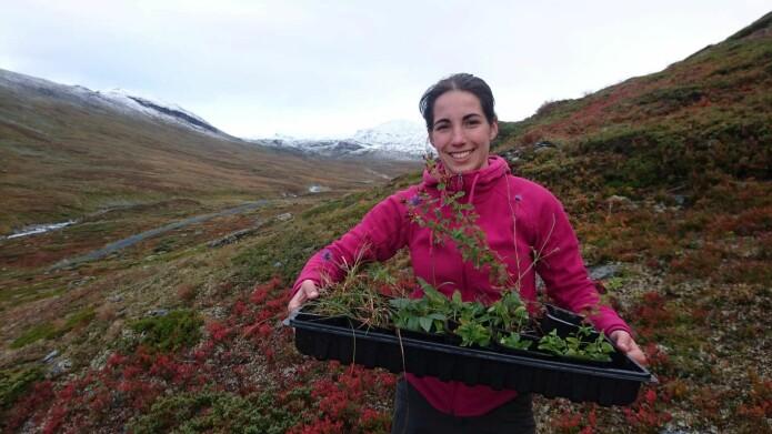 Lavlandsplantene (de 'kjipe': blåknapp, bleikstarr og firkantperikum) rett før Inge Althuizen fra UiB skal plante dem ned i sitt nye hjem oppe på Hemsedalsfjellet (Foto: Ragnhild Gya)