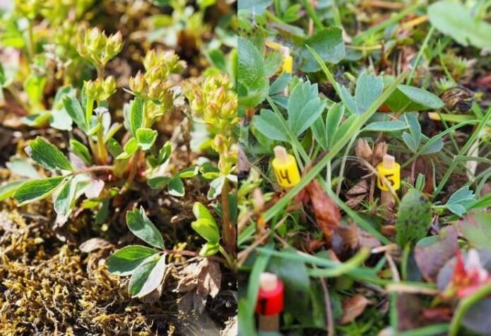 Trefingerurt har blader med de navngivende 'tre fingre'. Blomstene er grønne (til venstre) og ikke så spektakulære. Denne arten får gule perler på markeringstannpirkerne (Foto: Ragnhild Gya)