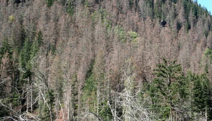 Varme somre og milde vintre kan føre til at skogen vokser mindre. De milde vintrene kan for eksempel føre til flere insektangrep som i noen tilfeller fører til skogdød. (Foto: Bjørn Økland / NIBIO)