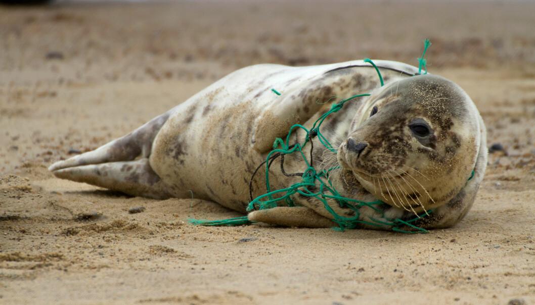 Garn og teiner på avveie kan være farlig for dyrene som lever i og ved havet. Nå vil forskere fra Sintef forsøke å løse problemet med smart teknologi. (Foto: Kev Gregory / Shutterstock / NTB scanpix)