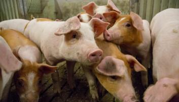 Griser elsker dyrefôr laget fra trær, viser forsøk som er gjort ved NMBU. (Foto: Håkon Sparre, NMBU)
