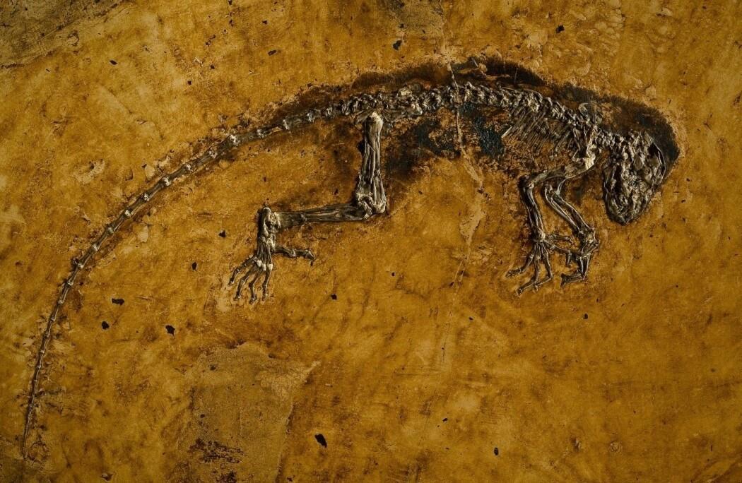 Ida, det unike eksemplaret av Darwinius marsillae, er en 47 millioner år gammel, tidlig primat. (Foto: Per Aas, Naturhistorisk museum, UiO. Samlingsnummer PMO 214.214)