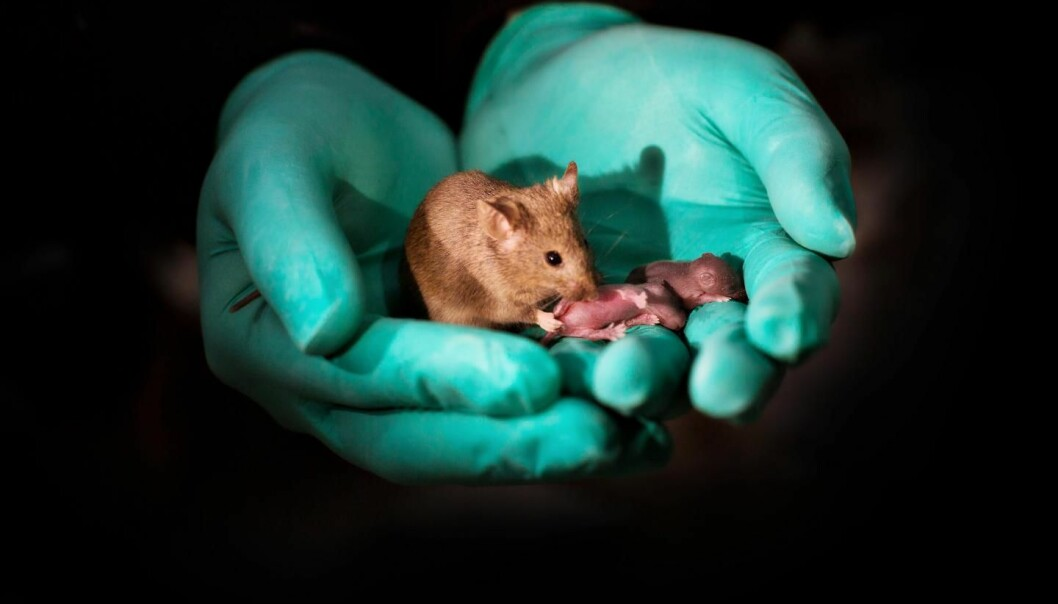 Denne fullvoksne hunnmusen er født av to kvinnelige mus, og har nå fått egne unger. (Foto: Leyun Wang)