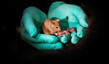 To hunnmus har fått barn – hvordan var det mulig?