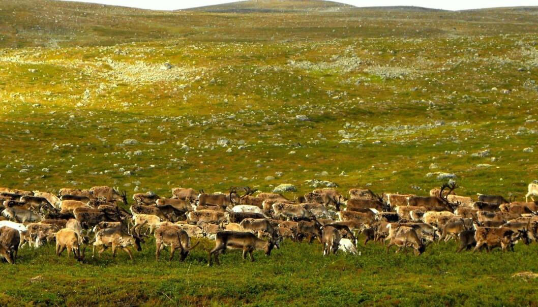 Nord i Finland har forskere gjennomført eksperimenter som kan tyde på at beitende reinsdyr kan være bra for artsmangfoldet blant plantene. (Foto: Elina Kaarlejärvi)