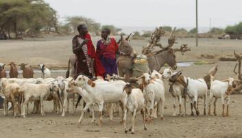 Forskere har snakket med folkegrupper som lever like ved Serengeti nasjonalpark. Hvor ofte opplever de at rovdyrene angriper? Skjer det oftere enn før?  (Foto: Per Harald Olsen/NTNU)