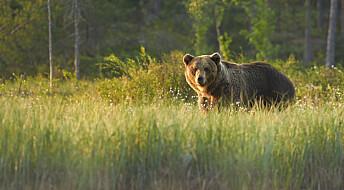 Radiosendere ga bjørner alvorlige bivirkninger