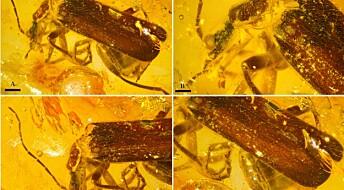 Dansk lærer finner 15 hittil ukjente forhistoriske biller kapslet inn i rav