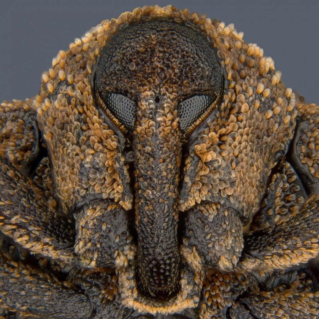 8. plass. Snutebille av arten <i>Sternochetus mangiferae</i>. (Foto: Pia Scanlon)