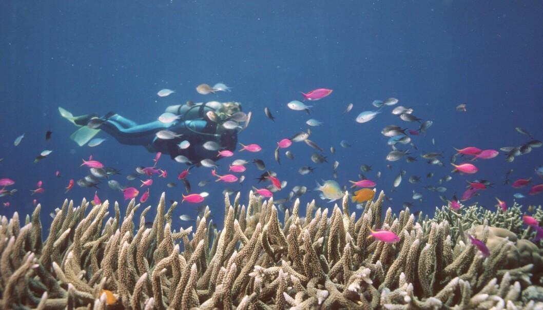 Koraller er sårbare og trege. Skal vi hjelpe dem litt? (Foto: AFP, NTB scanpix)