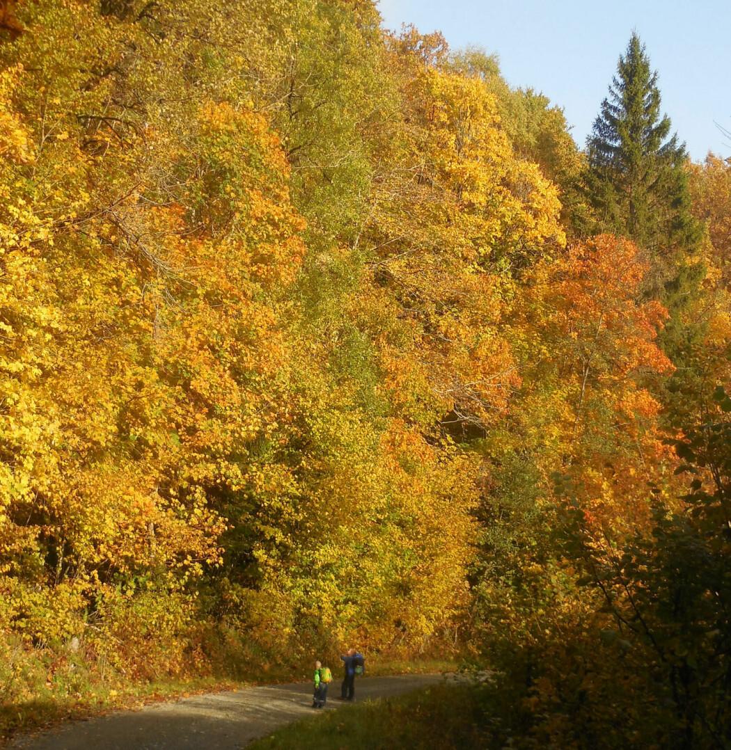 Fine høstdager er en gyllen anledning til å oppleve skogens fargespill. (Foto: Birte Töpper)
