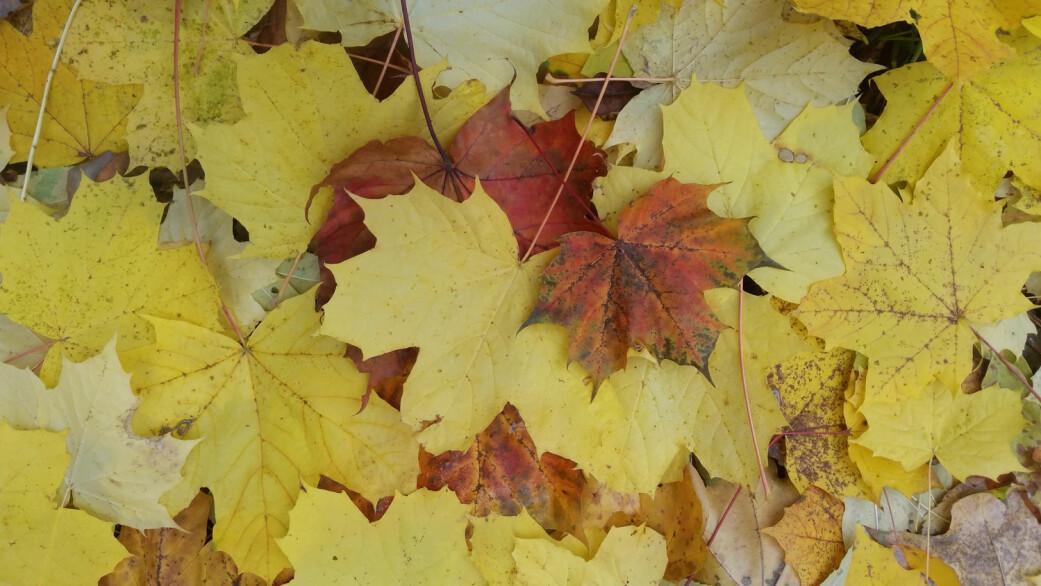 Spisslønn har både gule og røde blader om høsten og feller bladene ved å danne en korkaktig hinne som forsegler greinene mot bladet. (Foto: Siri Olsen)