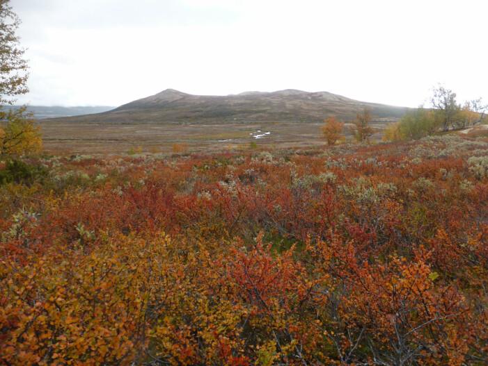 Blant Nord-Europas trær dominerer gule høstblader, men det er mye rødt i busker og buskaktige trær slik som dvergbjørk. (Foto: Siri Olsen)