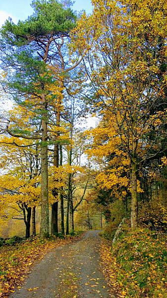 Eik gir mye gul høstfarge i Sørlandets skoger. (Foto: Joachim Töpper)