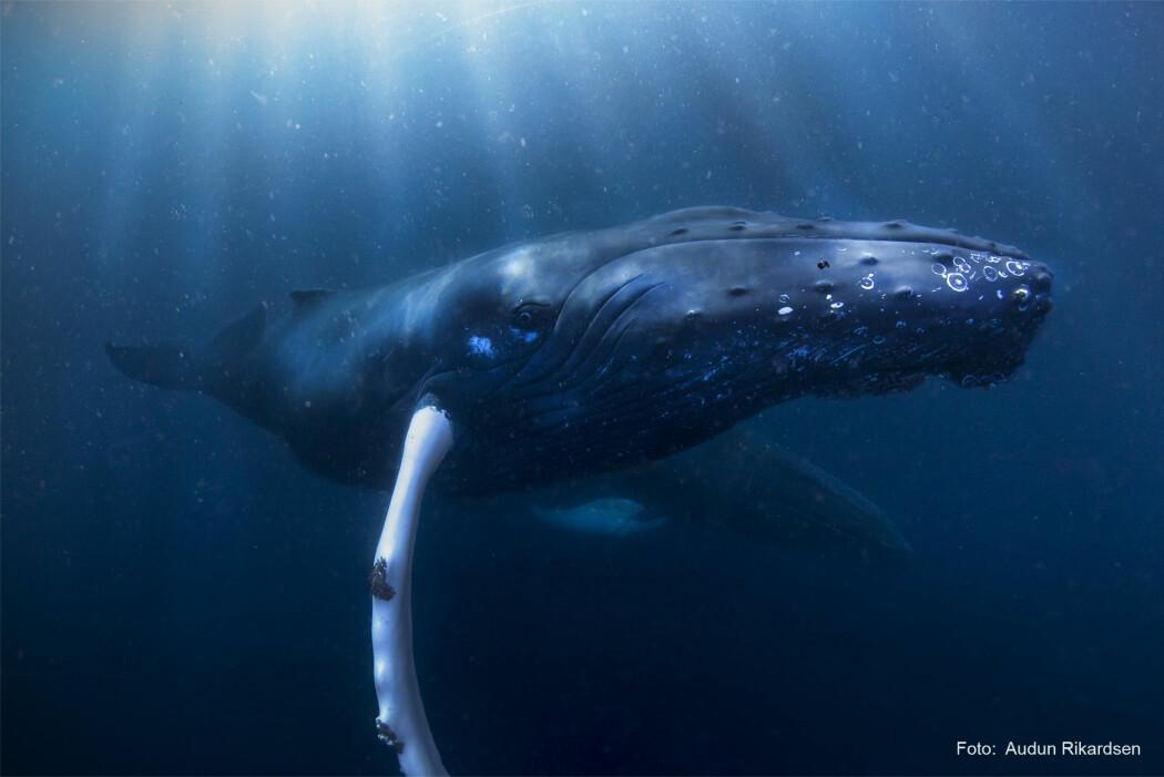 Forskere har merket hvalene med satellittsendere, slik at de kan følge deres lange vandring mot Karibien. (Foto: Audun Rikardsen)