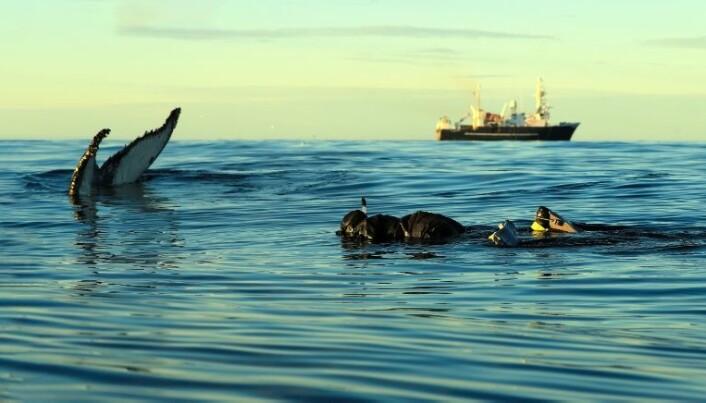 Audun Rikardsen på feltarbeid i Barentshavet i september. Her svømmer han med en knølhval. (Foto: Lisa Kettemer)
