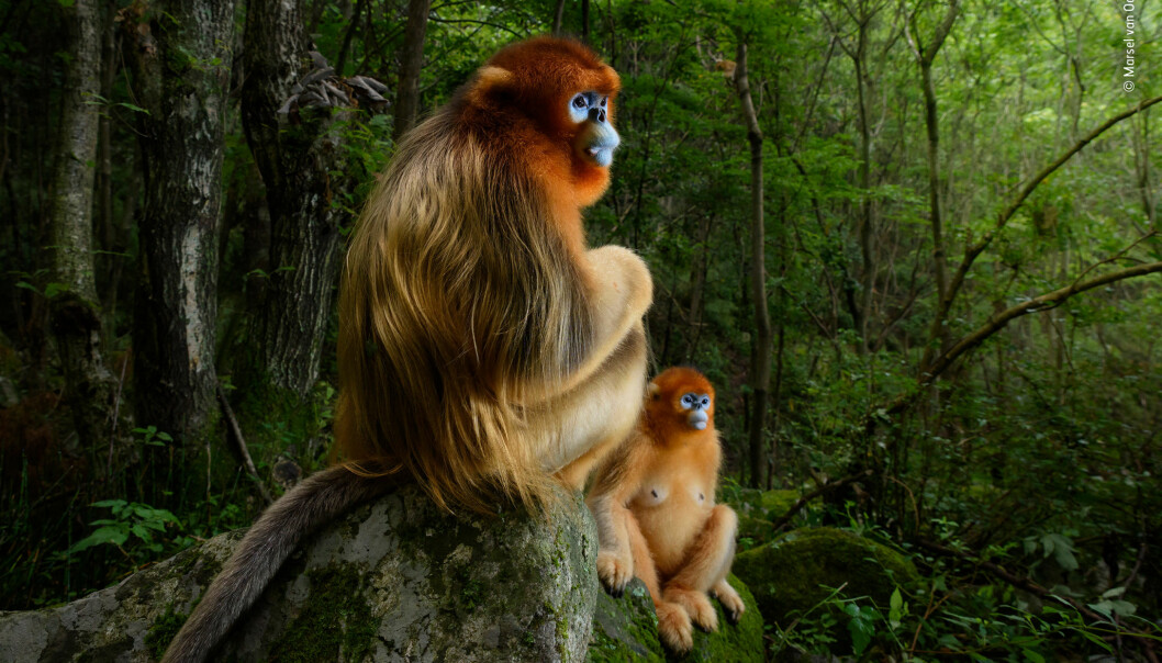 Her er vinnerbildet. Motivet er et par gylne stumpneseaper i skogen i Qinlingfjellene i Kina. (Foto: The Golden Couple © Marsel van Oosten, Wildlife Photographer of the Year 2018)