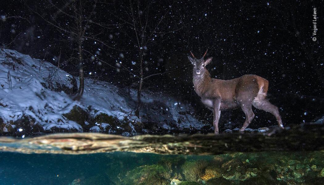 Dette bildet fikk utmerkelsen Highly Commended 2018 i kategorien Animals in Their Environment. (Foto: Vegard Lødøen)