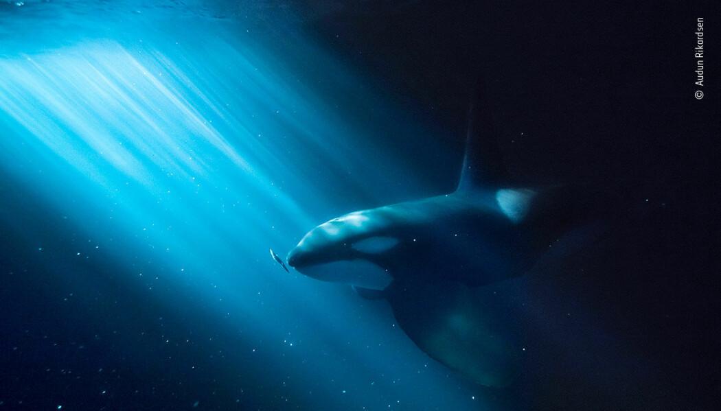Dette bildet av en spekkhogger ble også trukket fram som Highly Commended i kategorien Under Water. (Foto: Audun Rikardsen)