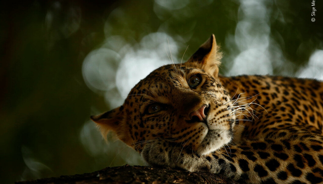 Lounging Leopard © Skye MeakerYoung Wildlife Photographer of the Year 2018