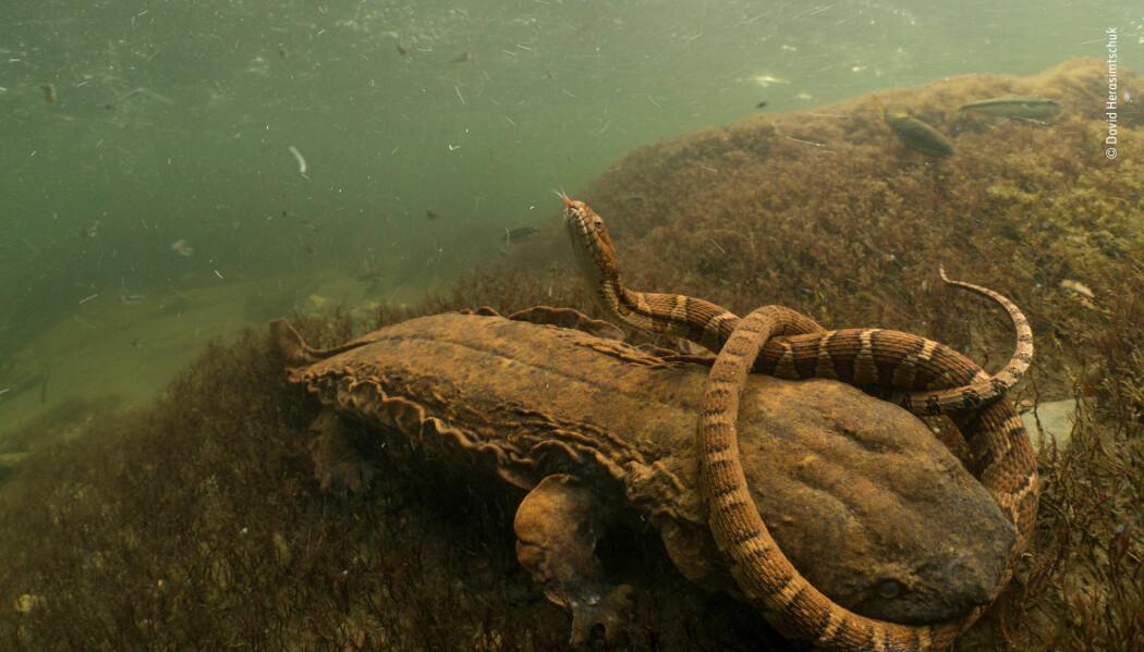 David Herasimtschuk ble vitne til en kamp mellom en dynndjevel (amerikansk kjempesalamander) og en slange. Slangen klarte å rømme til slutt. Bildet kaller han Hellbent. Dette bildet vant i kategorien Behaviour: Amphibians and Reptiles. (Foto: David Herasimtschuk)