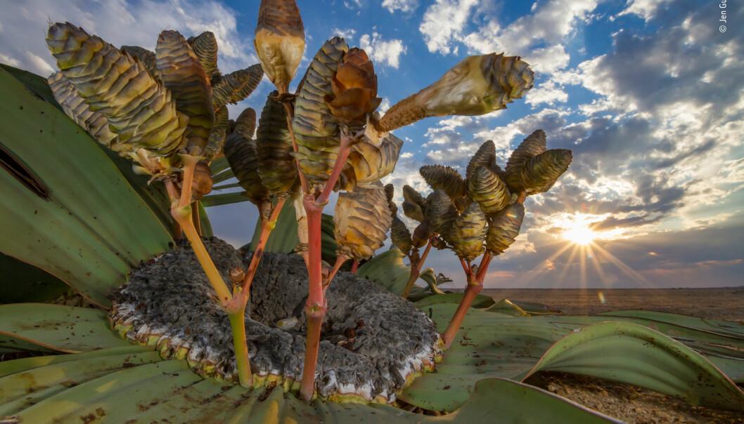 Plante som overlever i ørkenen. Bildet har fått navnet Desert relic og vant i kategorien Plants and Fungi. (Foto: Jen Guyton)