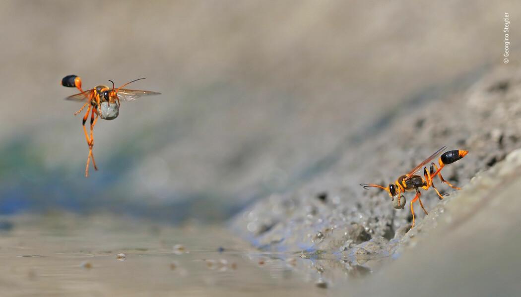 Dette bildet av en gjørmevesp-hunne som lager et reir av gjørme vant i kategorien Behaviour: Invertebrates. (Foto: Georgina Steytler)