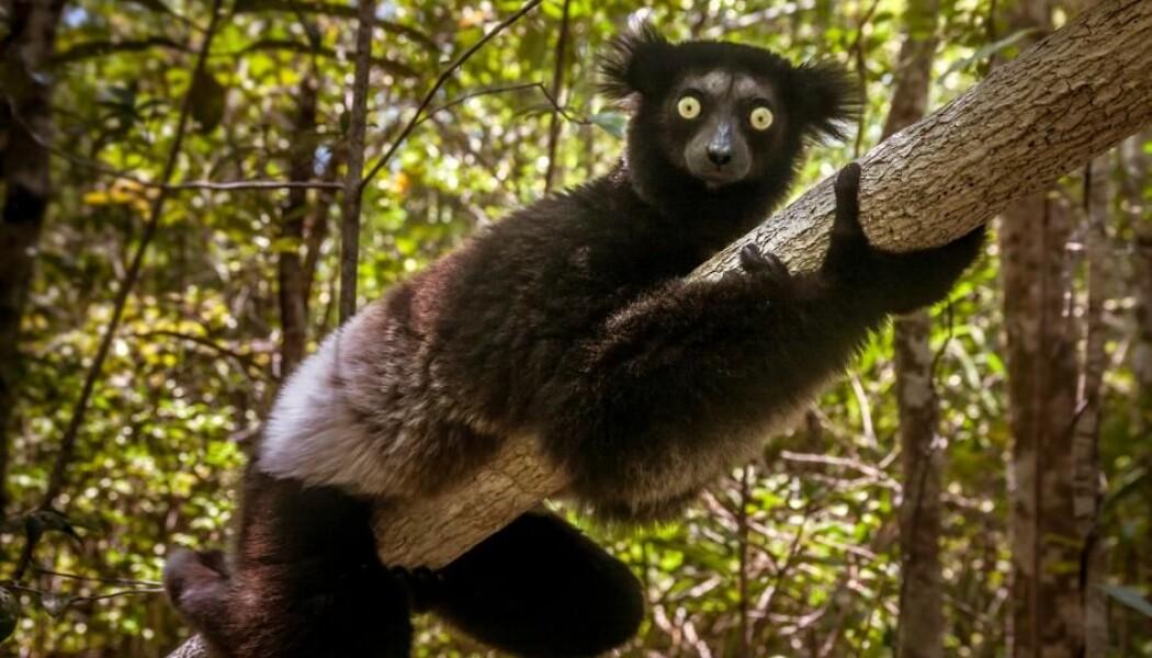 Den største nålevende lemuren er indrien fra Madagaskar. Indrien er kritisk truet og har ingen nært beslektete arter. Hvis arten dør ut, vil 19 millioner års unik utviklingshistorie gå tapt, mener forskerne. (Foto: AU/Stock)