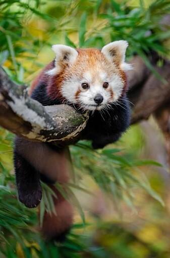 Den røde pandaen (Ailurus fulgens) er truet. Den er også evolusjonært distinkt uten nære slektninger. Det er en av de mest utsatte greinene på pattedyrenes evolusjonære tre. Hvis den røde pandaen dør ut, vil vi miste 31 millioner år med unik evolusjonær historie. (Foto: Mathias Appel)