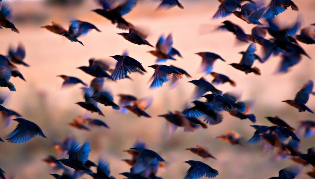 Svenske forskere mener de har funnet noe som gir styrke til en av teoriene om hvordan fuglene begynte å fly. (Foto: Serkan Mutan / Shutterstock / NTB Scanpix)