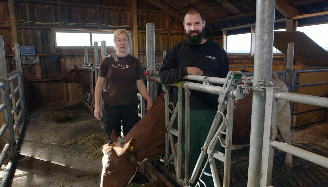 Ingvild Rekstad og Jørgen Soknes ved Skaugn Økosamdrift lar kalvene gå sammen med «ammetanter» den første tida etter råmelksperioden. (Foto: Tommy Rustad)