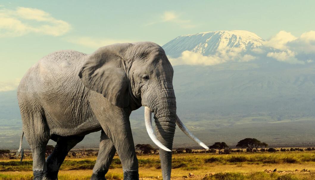 Elefanter og alle andre dyr vet på en eller annen måte hvor store de skal bli. Nå har danske forskere funnet den bakenforliggende mekanismen til denne biologiske gåten.  (Foto: Volodymyr Burdiak / Shutterstock / NTB scanpix)
