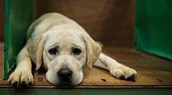 Labrador retrievere sliter med helsa