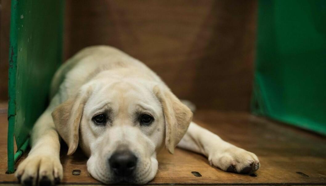 Den populære hunderasen labrador retriever er i risikogruppen for en rekke helseproblemer. (Photo: Oli Scarff, NTB scanpix)