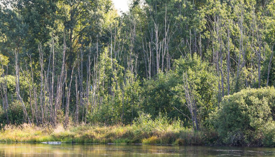Forskere har observert en rekke syke og døde trær blant annet langs Glomma, Drammenselva, Numedalslågen, Akerselva og Nidelva. Dette bildet er fra Åkersvika ved Hamar. (Foto: Erling Fløistad)