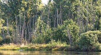 Dødelig skogssykdom sprer seg langs norske elver