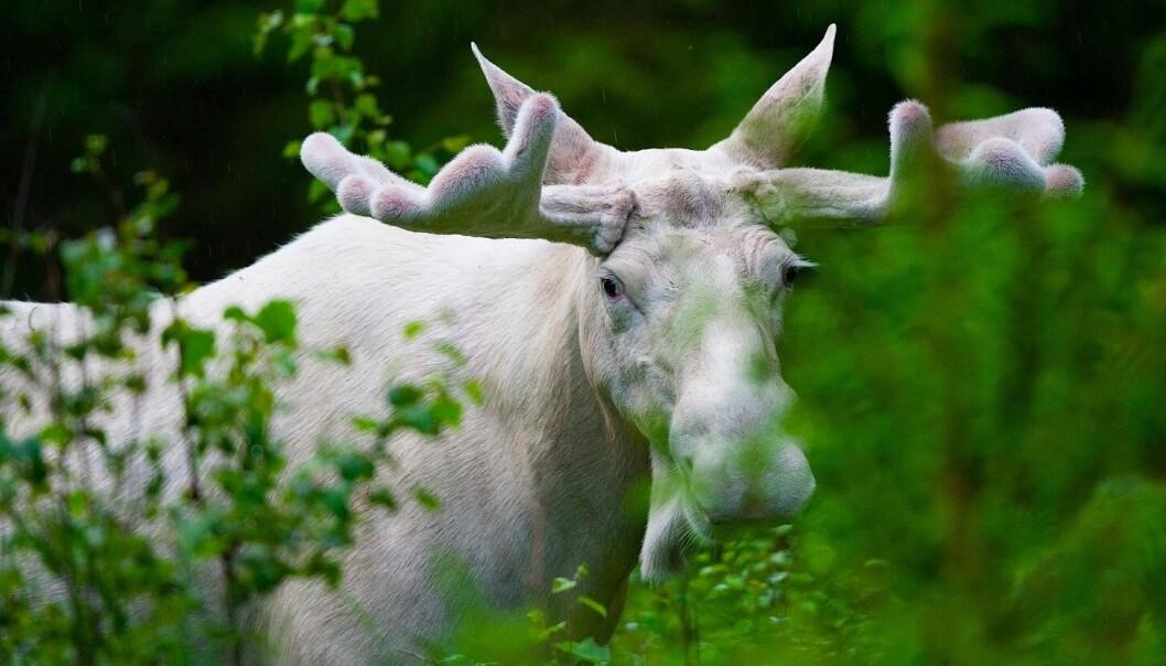 Nå vil svenske forskere vite hvorfor det er hvite elger i Värmland. De gransker hele elgens DNA for å finne svaret.  (Foto: Lase Dybdahl, Wikimedia Commons)