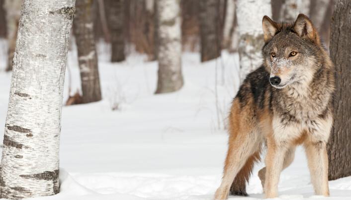 Datamaskiner er eksperter på å oppdage mønstre – men ikke like flinke i å vurdere sammenhengen. Et system for kunstig intelligens lærte i 2016 å se forskjell på ulver og hunder. På en måte. Det viste seg at den mente at det var snakk om en ulv når det var snø på bildet. (Foto: Geoffrey Kuchera / Shutterstock / NTB scanpix)