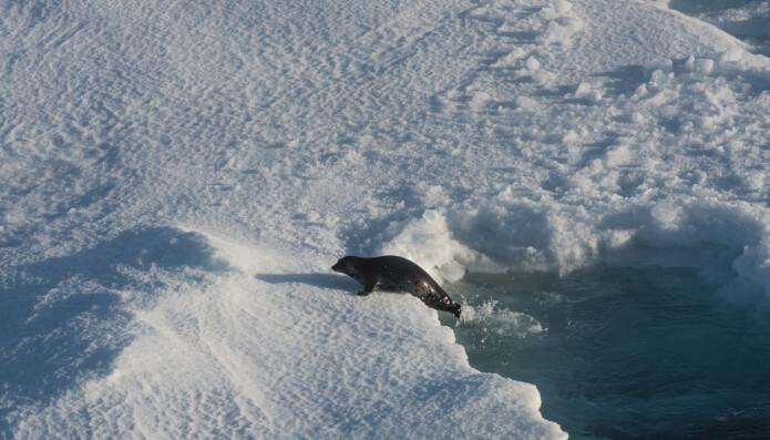 Miljøet i Polhavet endrer seg raskt med økt temperatur og redusert isdekke. Det kan få alvorlige konsekvenser for de arktiske artene som for eksempel sel. (Foto: Elvar H. Hallfredsson, Havforskningsinstituttet)