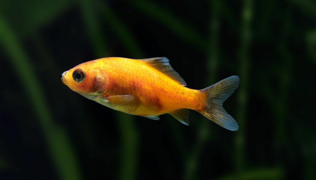 Gullfisk overlever vinteren takket være alkohol