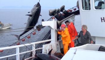 Landingen av de enorme størjene om bord på M/S Hillersøy i 2016 var strabasiøs. De hadde en gjennomsnittsvekt på hele 200 kilo. (Foto: Øyvind Tangen / Havforskningsinstituttet)