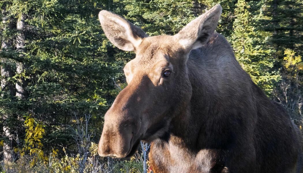 Forsøkselgen befinner seg i Alaska og er en av flere elger som har fått luke i magen. (Illustrasjonsfoto: Becky Bohrer / AP Photo)