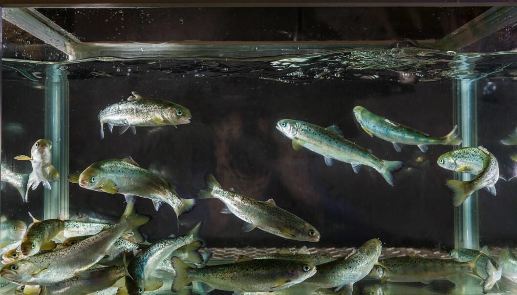 Forskerne ville finne ut om fisk med økt resistens mot IPN eller AGD er mindre effektive smittespredere for disse sykdommene enn fisk som er mer mottagelige.  (Foto: Terje Aamodt / Nofima)